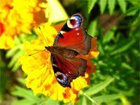Graceful Butterflies Free Screensaver screenshot